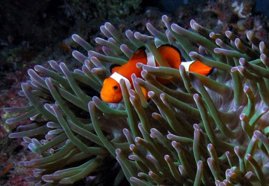 Orange-Ringel-Anemonenfisch