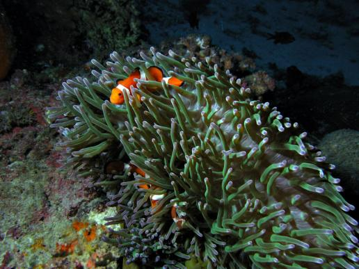 Orange-Ringel-Anemonenfische